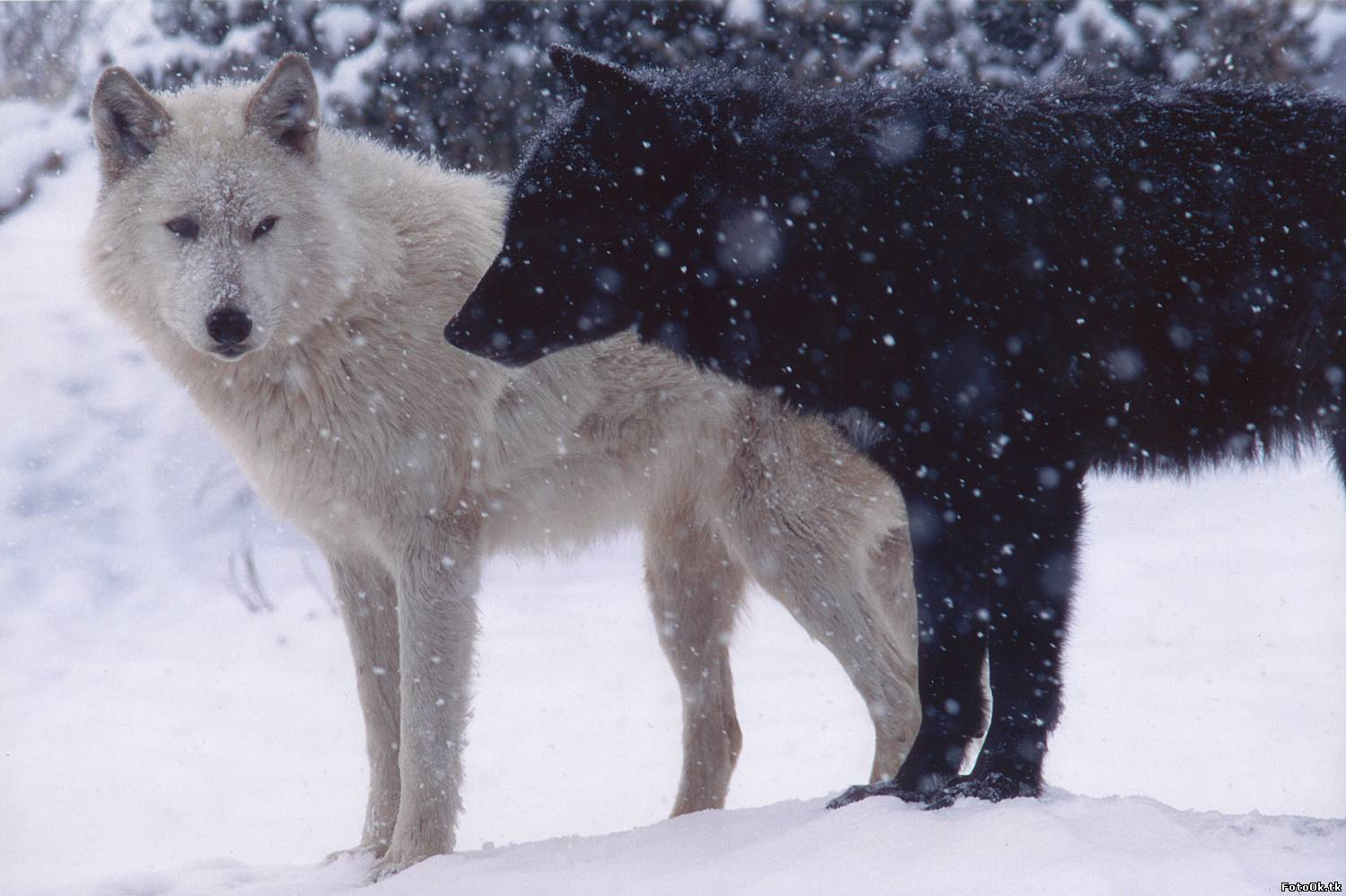 White wolf black wolf a cherokee story and other poetry by dusty grein society of classical poets